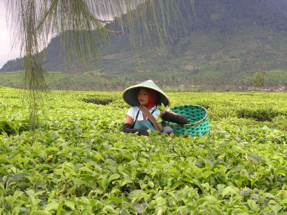 Eine Teepfückerin auf Java, Indonesien. Fotos: Deutscher Teeverband